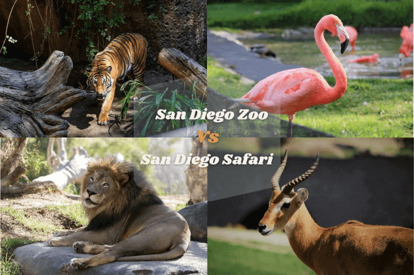 San Diego Zoo Vs Safari